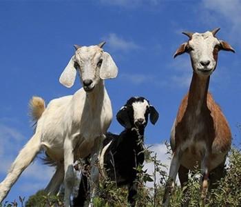 Osnivanjem 1000 farmi koza zaposlit će se 7500 osoba u BiH