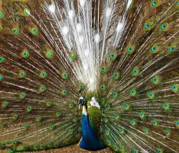 Ćališi: Farma paunova nikla iz ljubavi, očarana  ljepotom