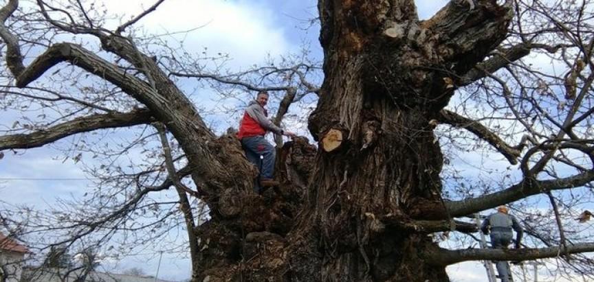 Ima 900 godina! Spašeno najstarije stablo pitomog kestena u Hrvatskoj