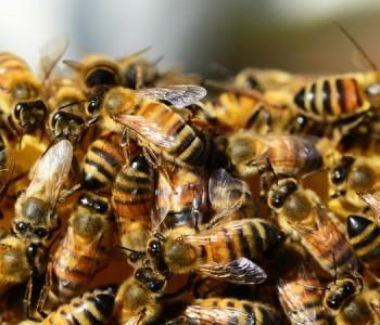 Ove godine veoma mali prinosi meda, bh. pčelari suočeni s velikim gubicima