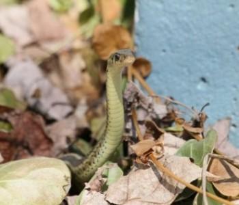 """Najezda zmija: """"Ove godine ih je duplo više, ulaze u kuće"""