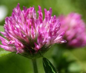 Ljekovito bilje koje se stoljećima koristi u narodnoj medicini