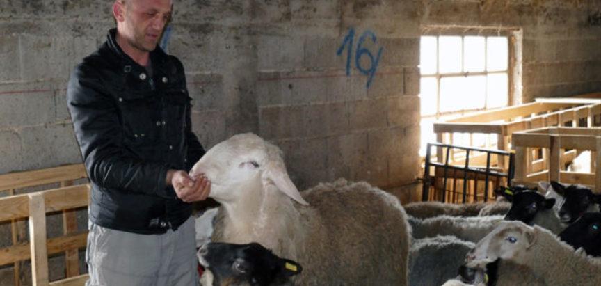 """Veterinar u BiH uzgaja najplodnije ovce: Nije mi jasno što ljudi idu u """"bijeli svijet"""""""