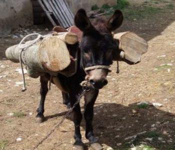 """Dresirani """"magarac lopov"""" krade drva na području Tomislavgrada"""