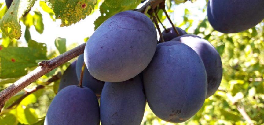 Otkupit će 100 i više tona šljive, a šire i uzgoj povrća u Posavini