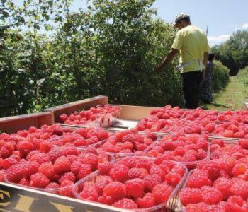 Proizvođači ogorčeni zbog cijene malina od 1 KM: Ne smijemo zavisiti od lobija hladnjačara