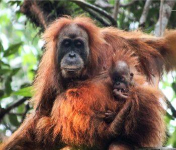 Na Sumatri otkrivena nova vrsta orangutana