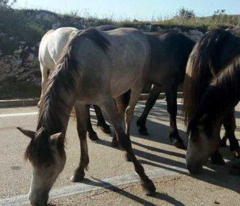 Divlji konji na putu Šujica – Livno