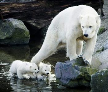 S otapanjem arktičkih ledenjaka otapa se i težina polarnih medvjeda
