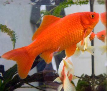 Zlatna ribica može bez hrane nekoliko dana