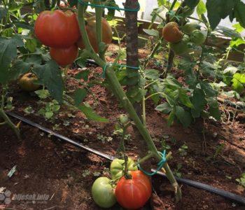 Turska i albanska rajčica oborila domaću