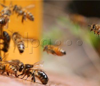 Francuska zabranila pesticide koji ubijaju pčele