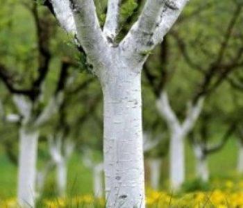 Jesenje krečenje stabala voća – svrha radnje te pravilna priprema i nanošenje smjese