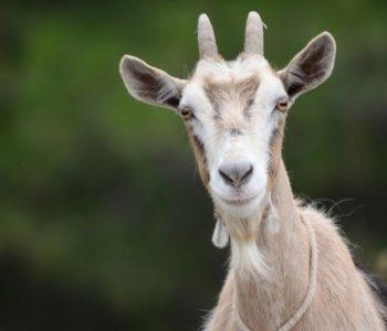 Koza Belka ušetala u kuću i sa stola pojela skoro 20.000 eura!