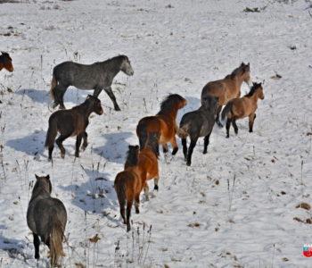 Akcija prikupljanja soli za divlje konje s Borove glave