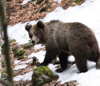 Upozorenje: Uočene medvjeđe stope u sred sela