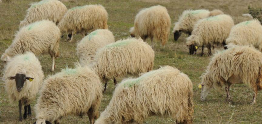 Ovce na farmama čuvaju dronovi koji laju