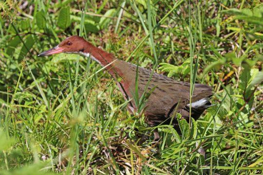 """Ptica se """"vratila iz mrtvih"""": Izumrla prije 136.000 godina"""
