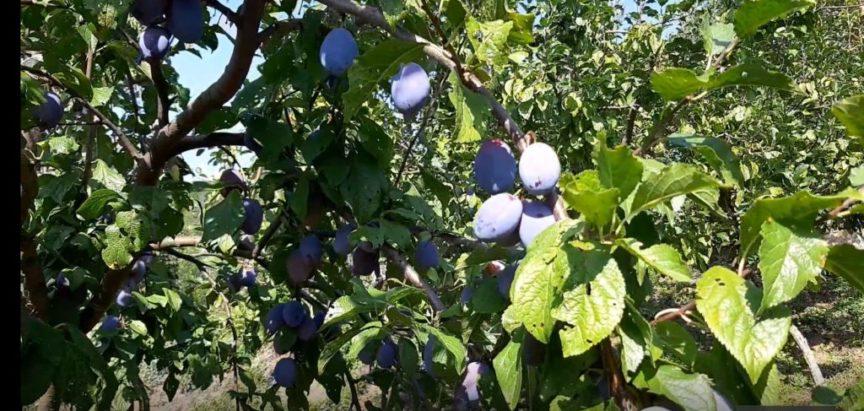 Eko plod: Obavijest o potpisivanju Ugovora za dodjelu sadnog materijala šljive