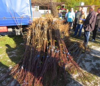 Foto: Izvršena podjela sadnica šljive