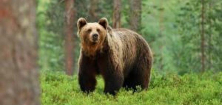 Pčelari s Kupresa pisali federalnom ministru: Zaštitite nas od medvjeda!
