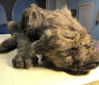 "Znanstvenici zbunjeni: U Sibiru pronađen ""pas"" star 18 tisuća godina"
