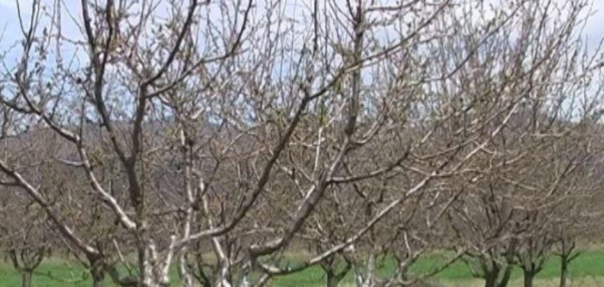 VOĆNJAK: Veljača i ožujak u voćnjaku