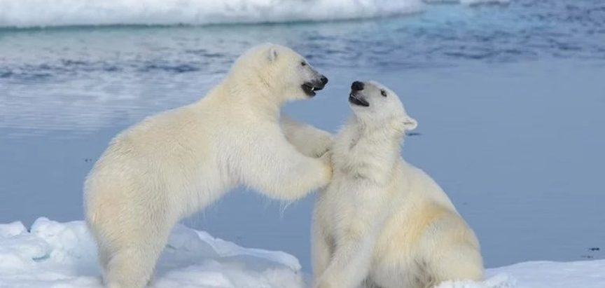 Polarni medvjedi sve češće jedu jedni druge, a razlog su ljudi