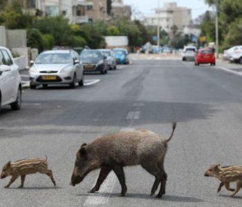 Česti prizori u gradovima u ovo vrijeme pandemije koronavirusa: Umjesto ljudi, životinje su na ulicama