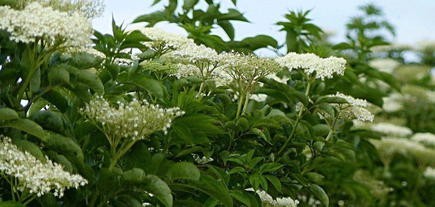 Zova (bazga) – biljka ljekovitih svojstava