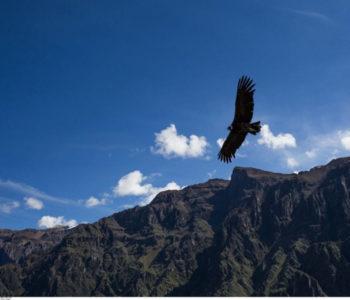 Znanstvenici zapanjeni otkrićem o andskim kondorima: Lete i po 5 sati bez da zamahnu krilima!