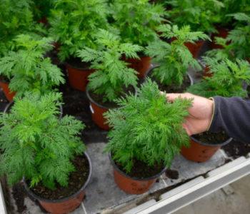 OTKRIĆE NJEMAČKIH ZNANSTVENIKA: Ova 'obična' biljka je učinkovita u liječenju Covida-19; Znate li gdje raste? U Hercegovini