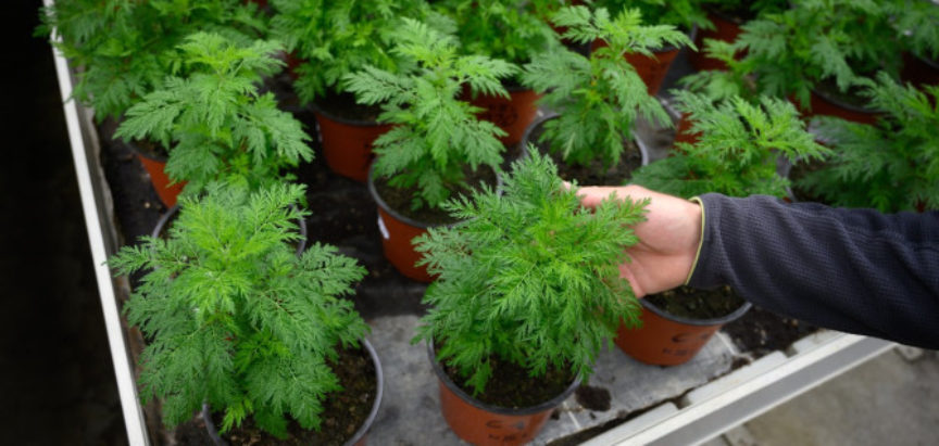 OTKRIĆE NJEMAČKIH ZNANSTVENIKA: Biljka iz Hercegovine učinkovita u liječenju COVID-a 19