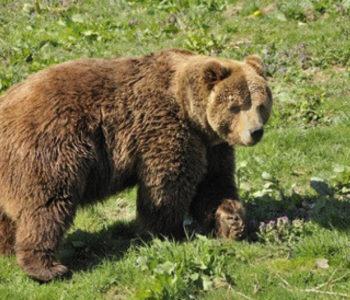 Medvjed pastiru slomio obje ruke