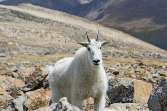 Koza ubila medvjeda, znanstvenici zapanjeni