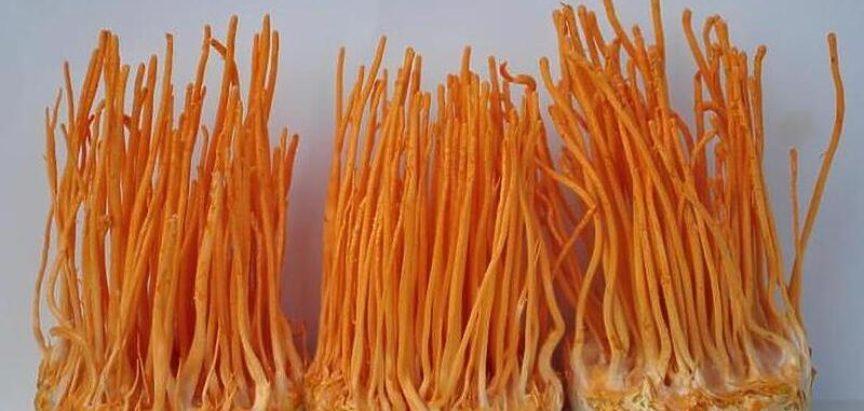 Lijek dobiven iz himalajske gljivice ubija stanice raka 40 posto efikasnije