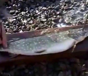 VIDEO: Domišljati Rus pokazao kako lako izvana za čas očistiti ribu