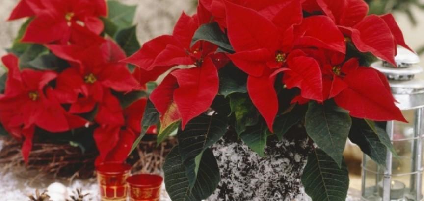 3 savjeta uz koja će božićna zvijezda potrajati do naredne godine