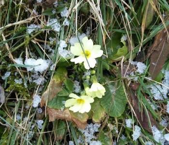 Prvi cvjetovi na ramskim livadama u bitci sa snijegom