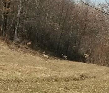 Jeleni u neposrednoj blizini OŠ Veselka Tenžere na Uzdolu