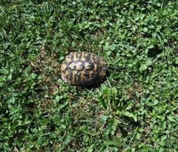 S ljetom došla i kornjača