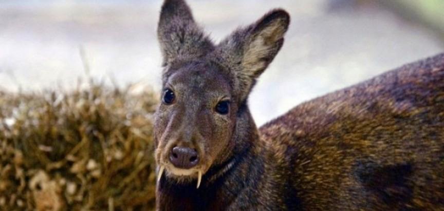 Kašmirski mošusni jelen primjećen prvi put nakon 60 godina