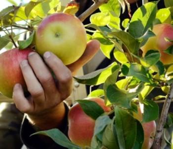 U Hercegovini se pesticidima najviše tretira jabuka