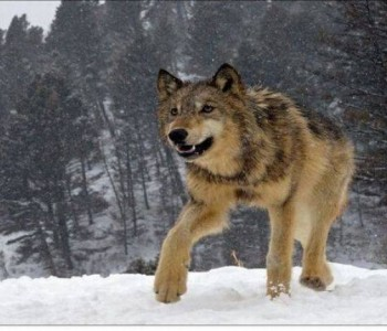 Vukovi napadali pse u selima Borovnica, Paljike i Lug