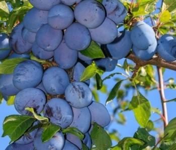 """PROGRAM 9. Sajma poljoprivrede, prehrane i turizma """"DANI ŠLJIVE PROZOR – RAMA 2014"""""""