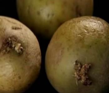 Zeleni krumpiri su opasni za vaše zdravlje: Evo zašto ih morate izbjegavati!