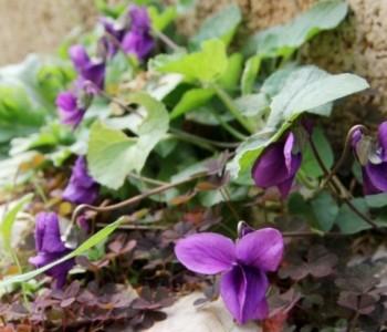 Ljubičice: Znamo da su vjesnici proljeća, ali da su ovako ljekovite vjerojatno niste znali