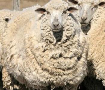 Dolazi godina ovce